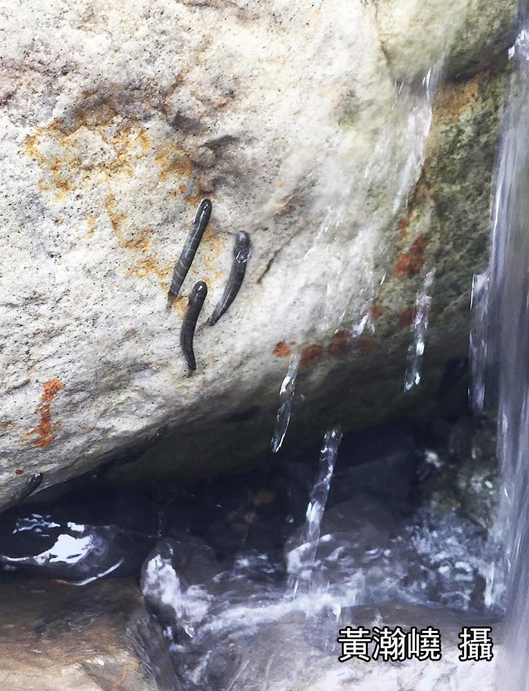 2_日本禿頭鯊藉吸盤狀的腹鰭能在急流與溪石間移動(攝影:黃瀚嶢)