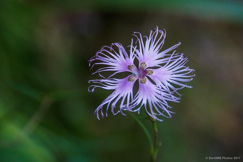 Dianthus hyssopifolius
