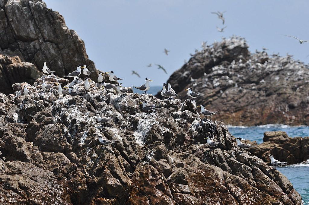 混群的黑嘴端鳳頭燕鷗與大鳳頭燕鷗。圖片來源:洪崇航。