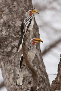 Southern yellow-billed Hornbill Kruger 2017 (2) | by Mike Danks Photography