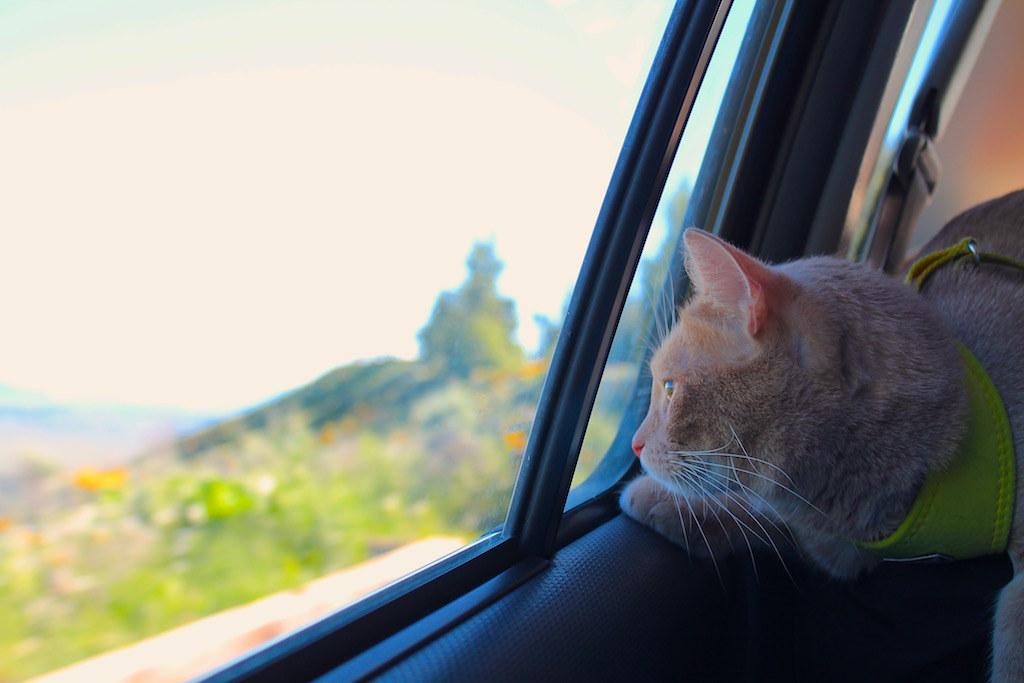 Kissa katsoo ulos auton ikkunasta.