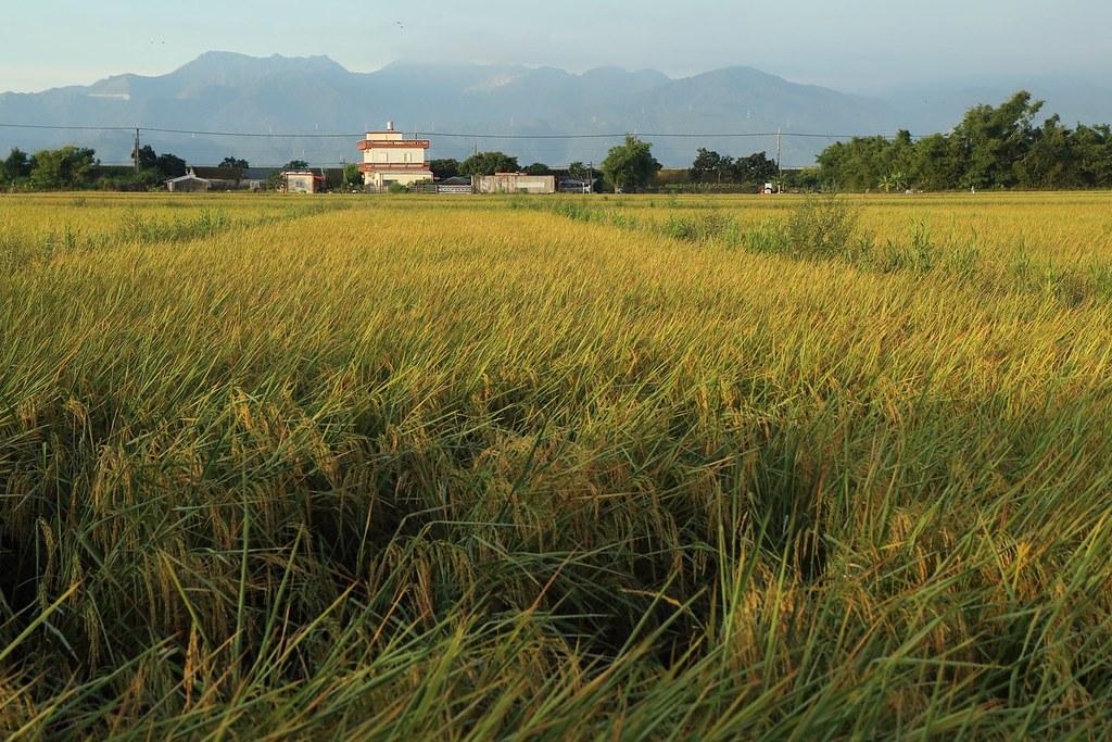 田董米即將收割的水稻田。圖片來源:林哲安