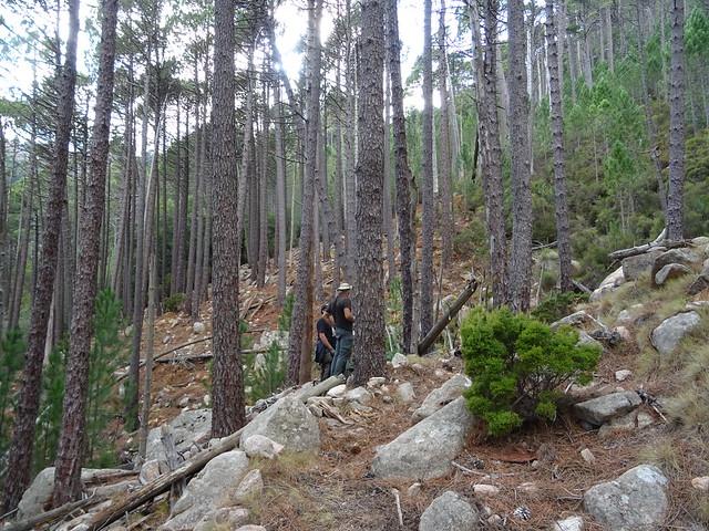 Remontée du chemin démaquisé vers le Castedducciu : arrivée au ruisseau sans nom dans la pinède