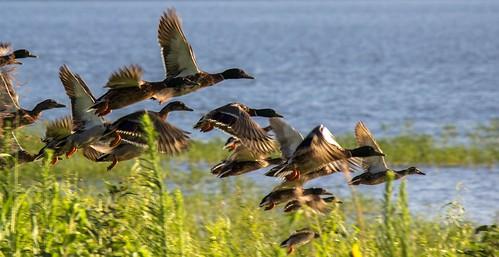 Migrating mallards flying