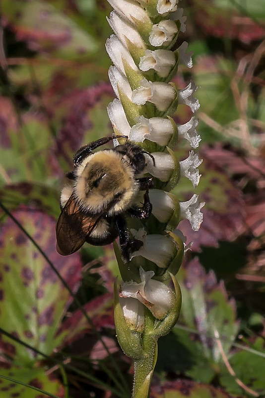 Nodding Ladies'-tresses orchid with Bumble bee