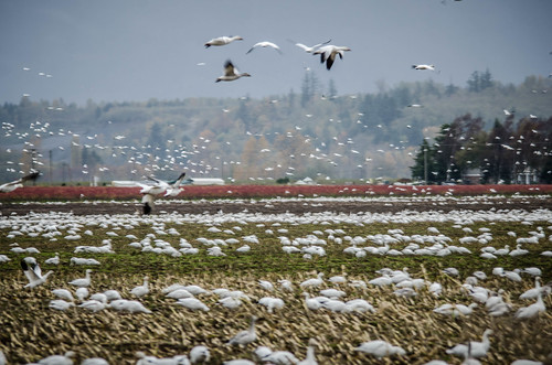 Migrating Snow Geese-17 | by RandomConnections