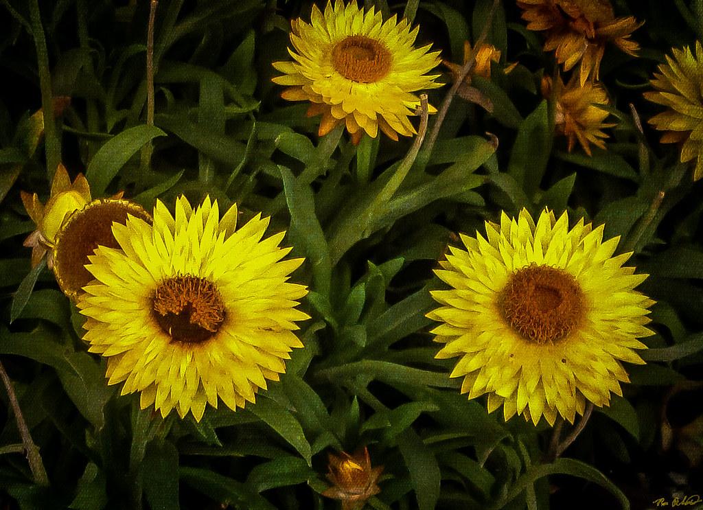 Yellow fall flowers desouto flickr yellow fall flowers by desouto mightylinksfo