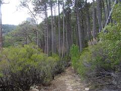 Arrivée dans la pinède en remontant vers le pied du versant NE du Castedducciu