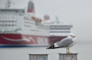 Foggy morning in the Port of #Helsinki. #Finland. Common gull | by L.Lahtinen (nature photography)