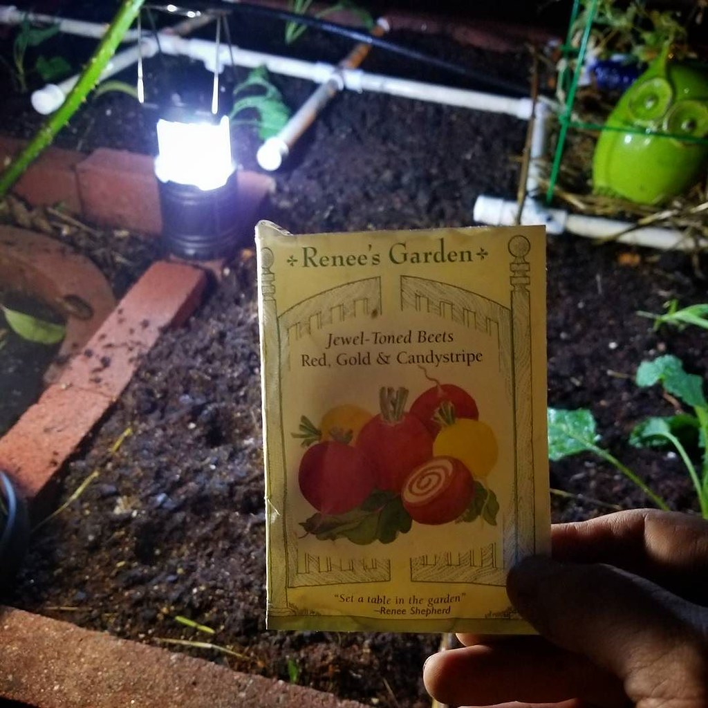 Ran out of daylight, so I ended up planting Beet seeds by … | Flickr