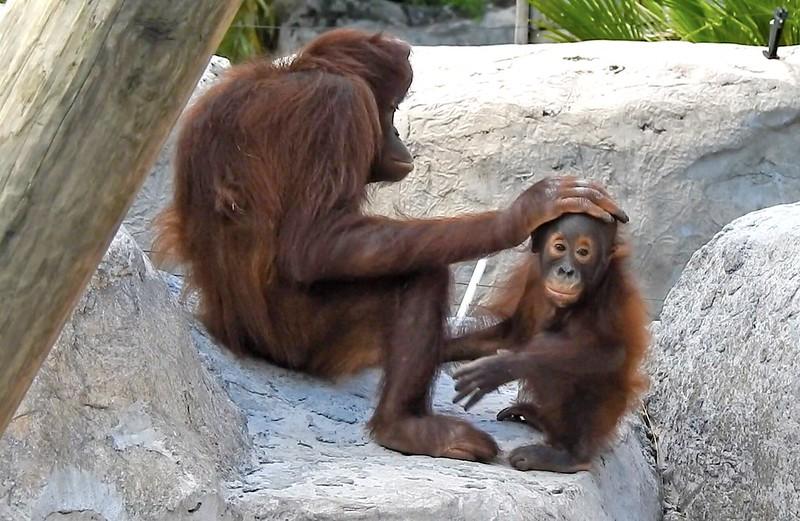 Tampa Lowry Park Zoo: Orangutan
