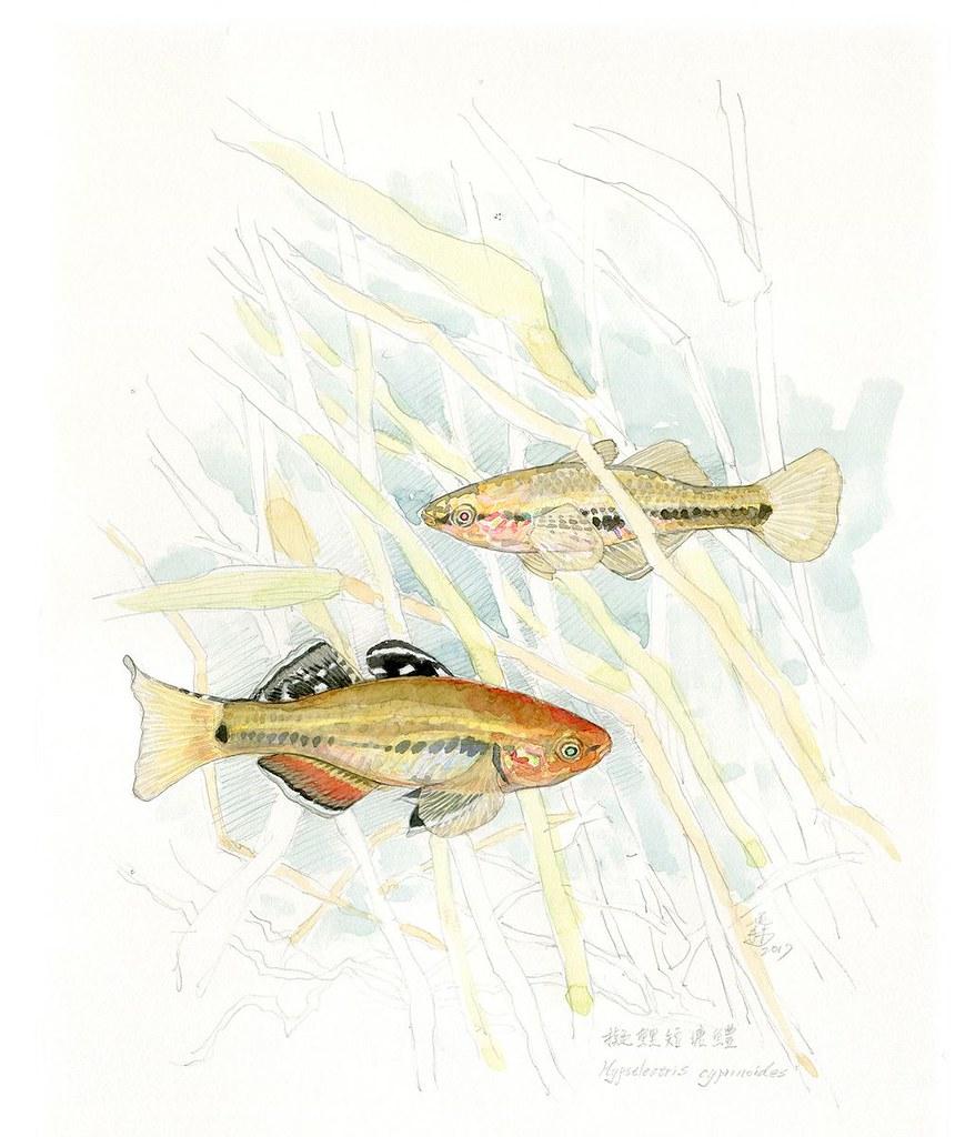 8_擬鯉短塘鱧是草叢間的選美冠軍(繪圖:李政霖)
