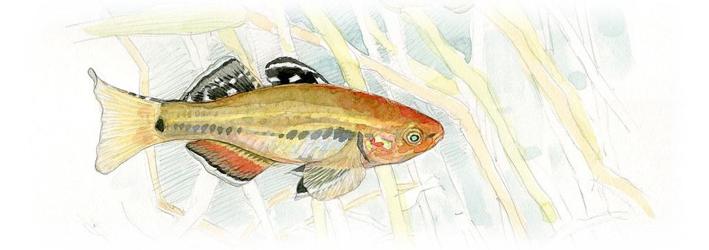 擬鯉短塘鱧。繪圖:李政霖