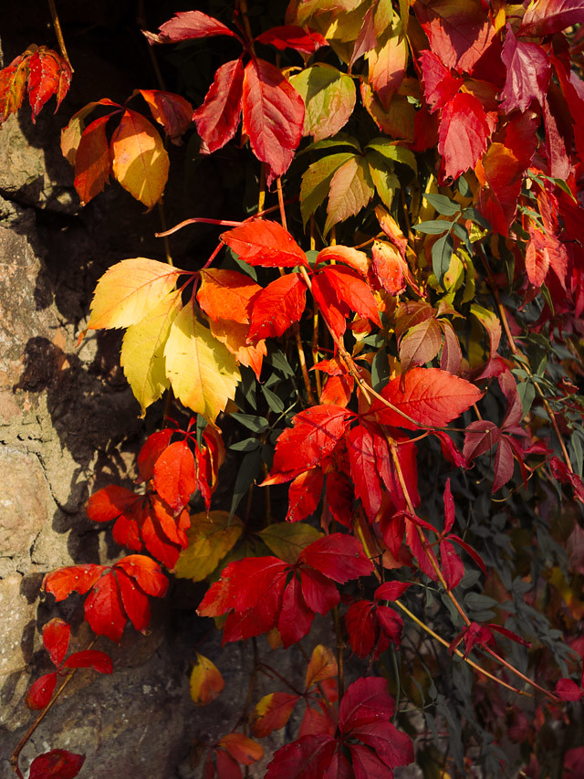 colourful red and yellow autumn leaves