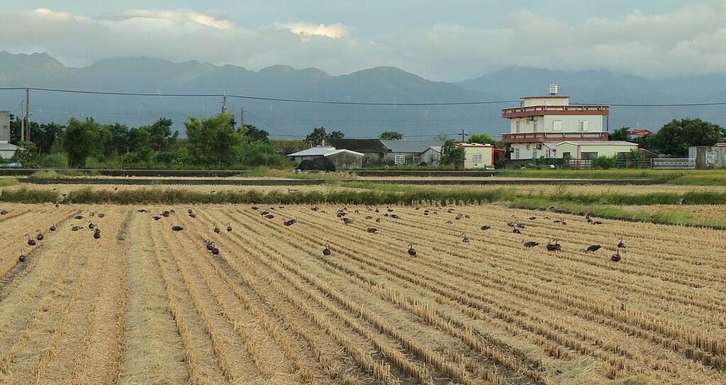 收割後的稻田中覓食的花嘴鴨。圖片來源:林哲安