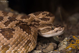 Great Basin Rattlesnake (Crotalus lutosus) | by Chad M. Lane