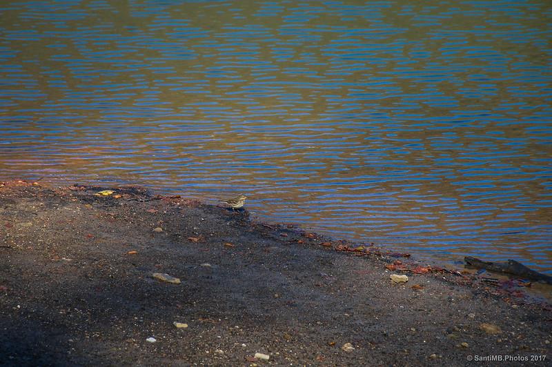 Pajarillo en el Lago Lareo