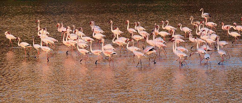 聚集在孟買水岸的紅鶴,圖片來源:維基百科。