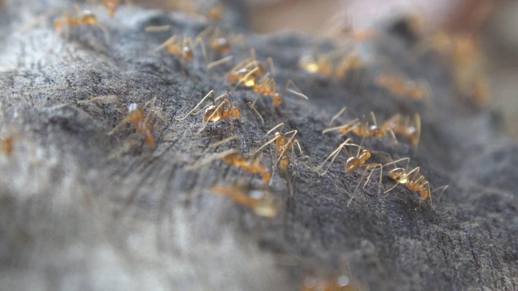 黃瘋蟻入侵