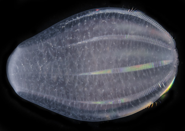 Image of a comb jelly