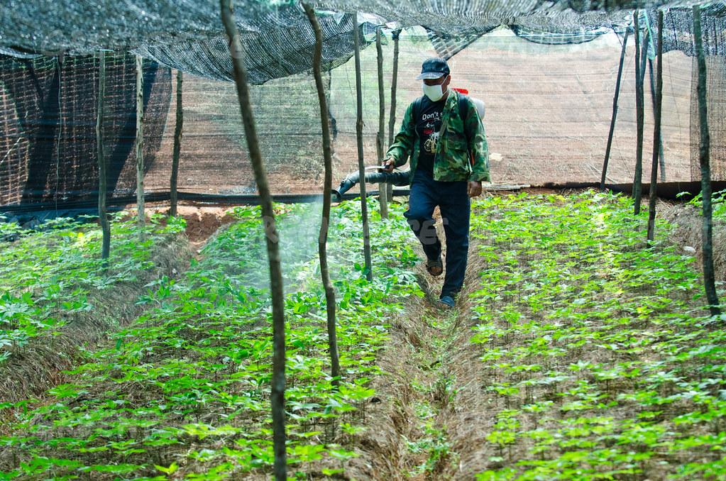 雲南文山壯族苗族自治州的農民在給三七噴農藥。圖片來源:SimonLim / Greenpeace