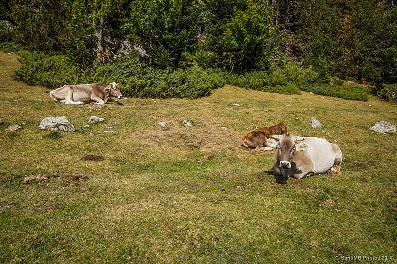 Vacas en el Planell d'Aigüestortes