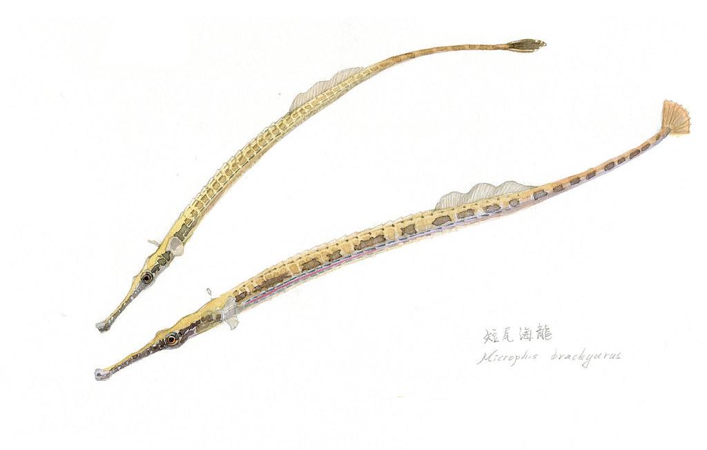7_海龍是一種極度特化的魚類,偽裝成水草模樣,生活在下游或海口生態區。(繪圖:李政霖)