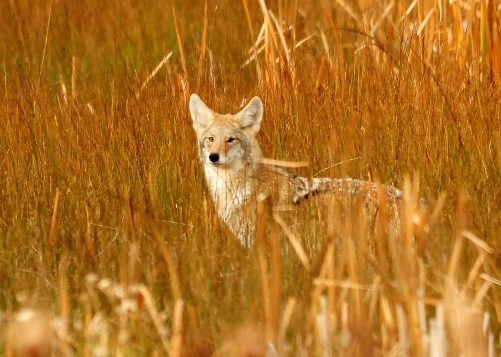 郊狼。圖片提供:Center for Biological Diversity (media use)。攝影:Tom Koerner/USFWS。