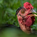 Animal portrait taken at a farm in the Guatemalan rain forest near Semuc Champey