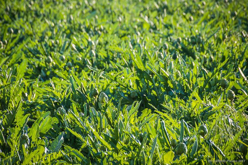 Campo de alcachofas en el Delta del Llobregat