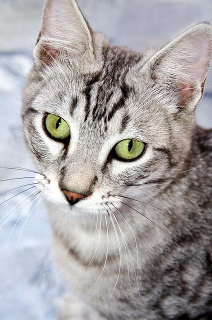Anubis, bellezón de gato cruce con Mau Egipcio muy activo, nacido en Mayo´17, en adopción. Valencia. ADOPTADO. 38092649981_b6b4c69ca9_z
