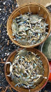 Two bushels of Blue Crabs