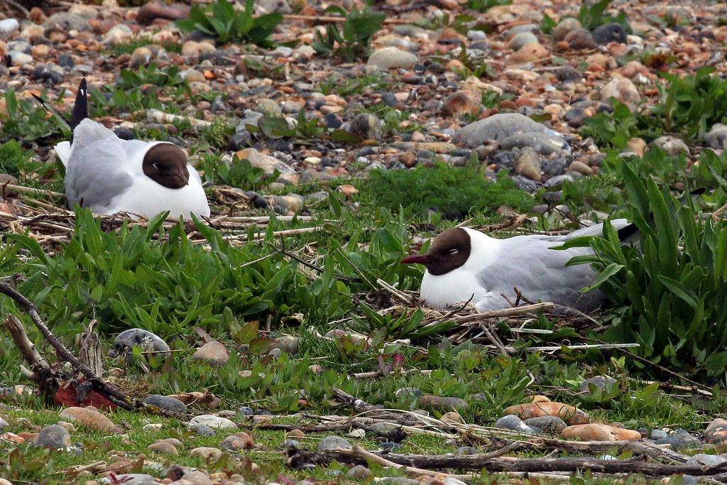 黑嘴鷗孵巢。 圖片來源:Sharp Photography(CC BY-SA 4.0)