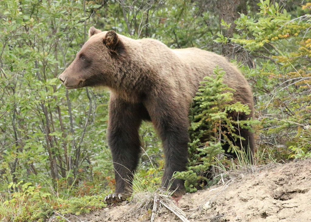 灰熊(Grizzly Bear)。圖片來源:Stephanie Lange (CC BY 2.0)。