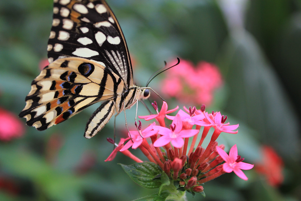 Butterfly Macro
