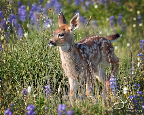 Meadow Fawn 9438-17 | by StacyN - MichiganMoments