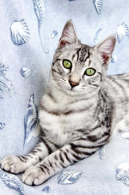 Anubis, bellezón de gato cruce con Mau Egipcio muy activo, nacido en Mayo´17, en adopción. Valencia. ADOPTADO. 37383411854_9dcf6c1cf2_z