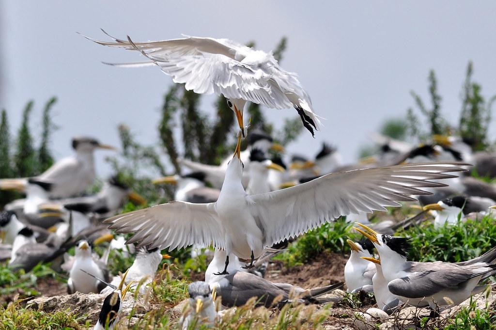 大鳳頭燕鷗和黑嘴端鳳頭燕鷗搶食。圖片來源:洪崇航。