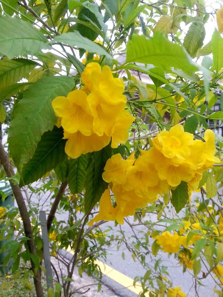 Yellow Flowering Plant In Singapore Dont Know Name Flickr
