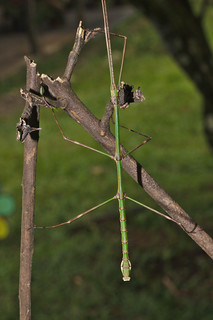 Stick insect IMG_6785 | by davholla2002