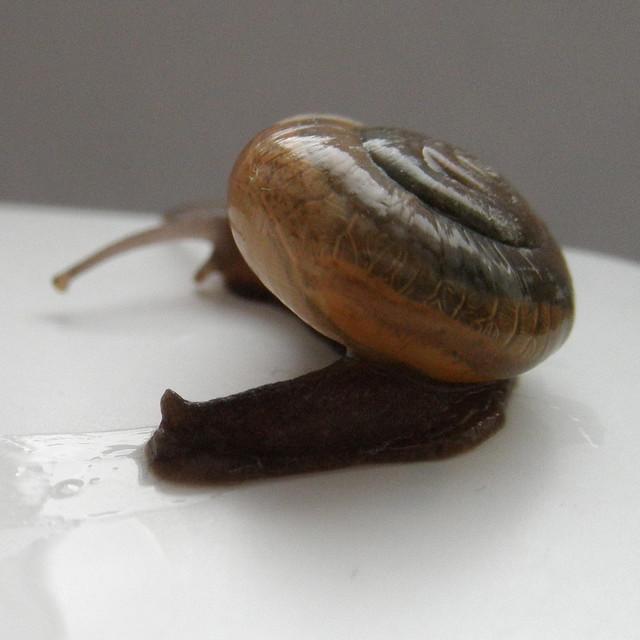 Macrochlamys amboinensis