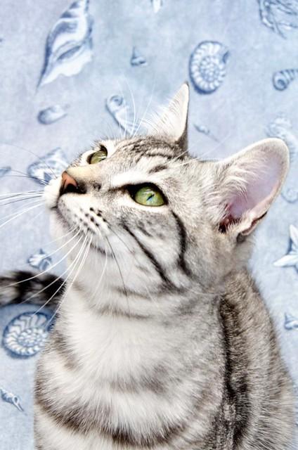 Anubis, bellezón de gato cruce con Mau Egipcio muy activo, nacido en Mayo´17, en adopción. Valencia. ADOPTADO. 38092656961_4c1d0bb009_z