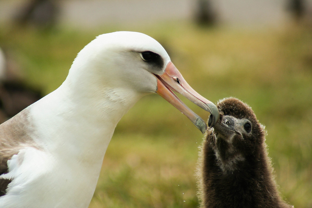 Moli Feeding Moli Laysan Albatross Photo Credit