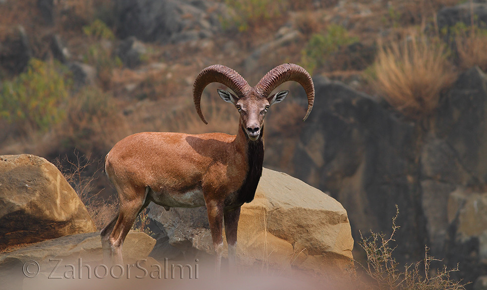 punjab urial the punjab urial is an endemic sub species