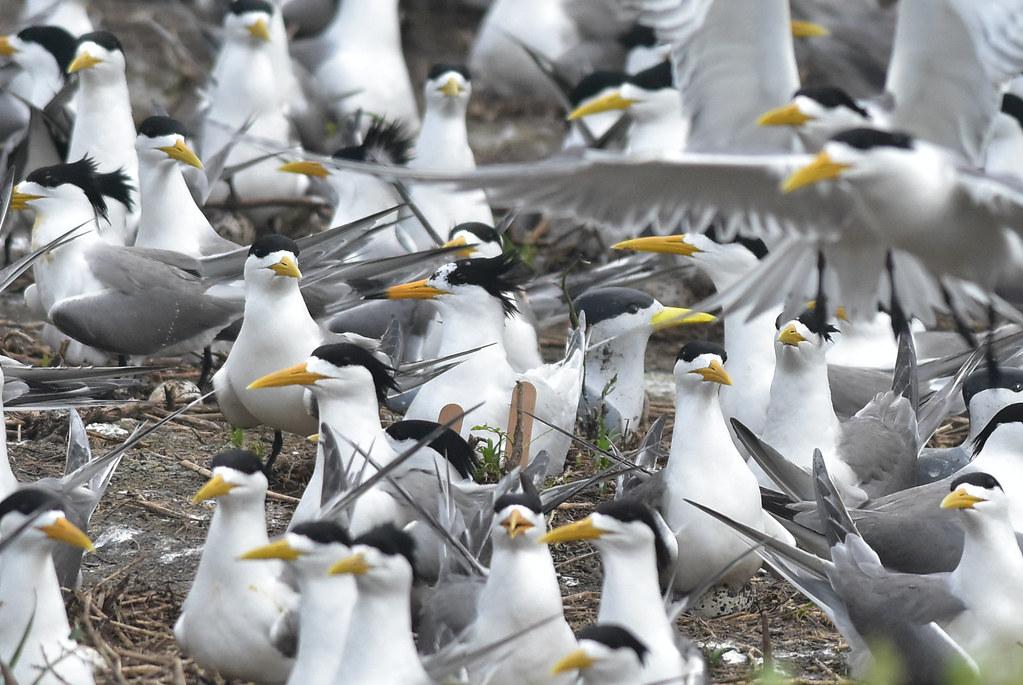 在畫面中央處的黑嘴端鳳頭燕鷗與其身旁的模型假鳥。圖片來源:洪崇航。