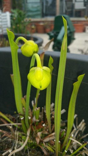 Sarracenia flava var. maxima (Honeysuckle Road, Harleyville, NC) unopened pitchers and flowers | by sarracenia.flava