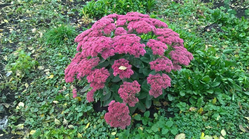 Цветок Очитник
