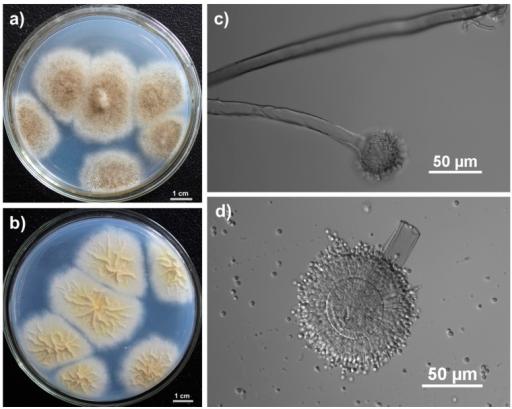 塔賓麴黴(Aspergillus tubingensis)。作者:Qing-Wei Tan, Fang-Luan Gao, Fu-Rong Wang, and Qi-Jian Chen;圖片來源:維基百科。CC BY 4.0