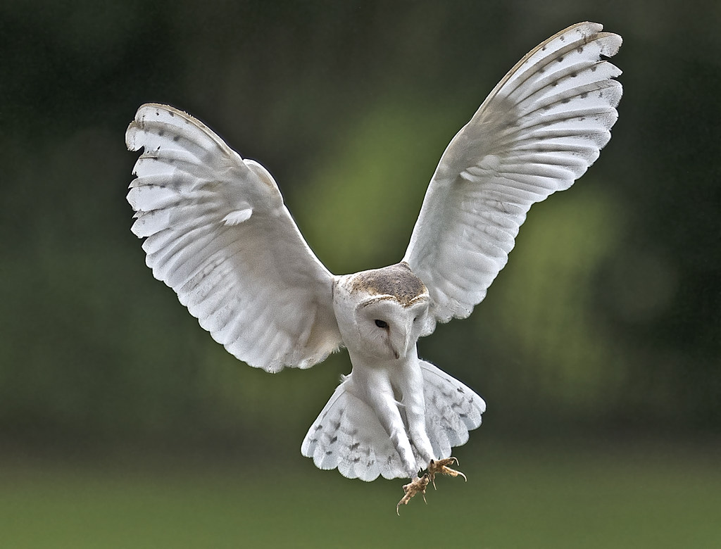 Barn owl - Tyto alba | Taken at the Newent International ...
