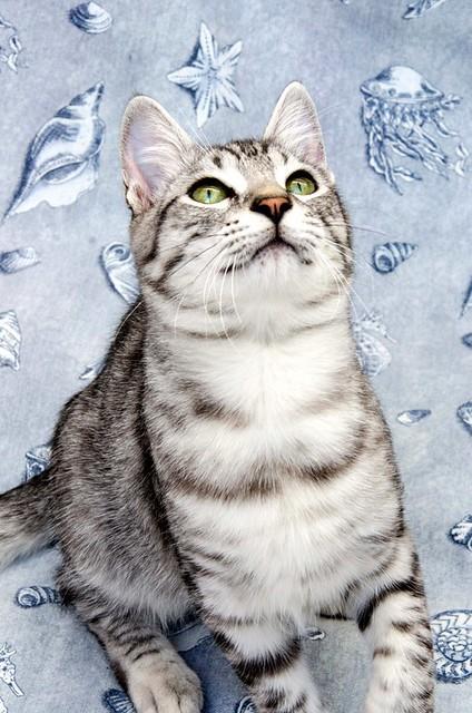 Anubis, bellezón de gato cruce con Mau Egipcio muy activo, nacido en Mayo´17, en adopción. Valencia. ADOPTADO. 37383407924_2dce9a9b16_z